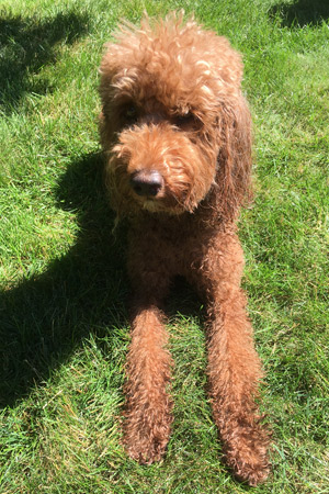 Labradoodle Gingie