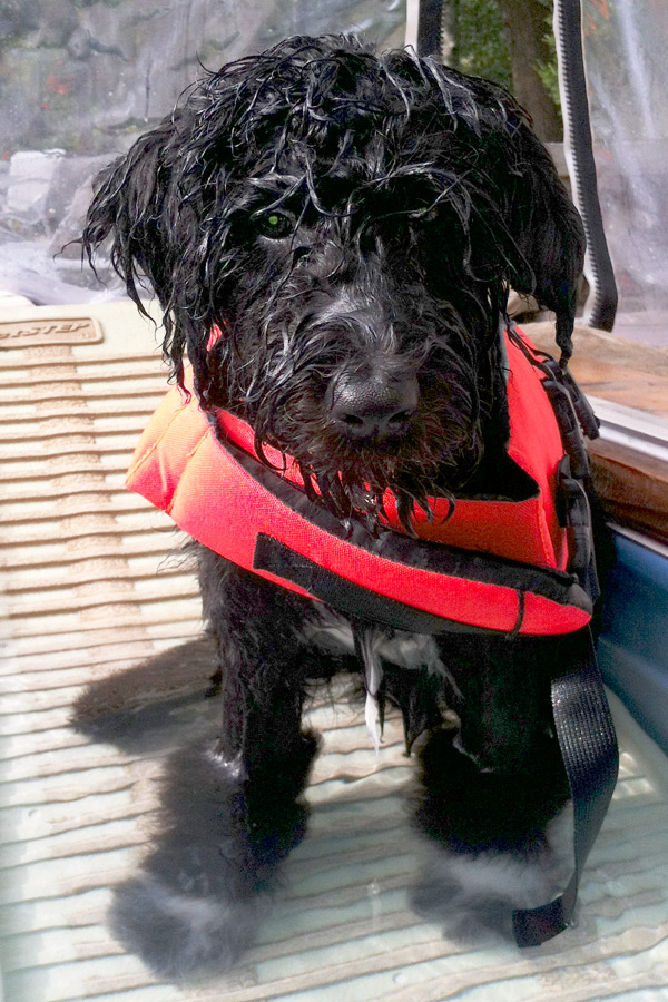 Portuguese Water Dog Myles