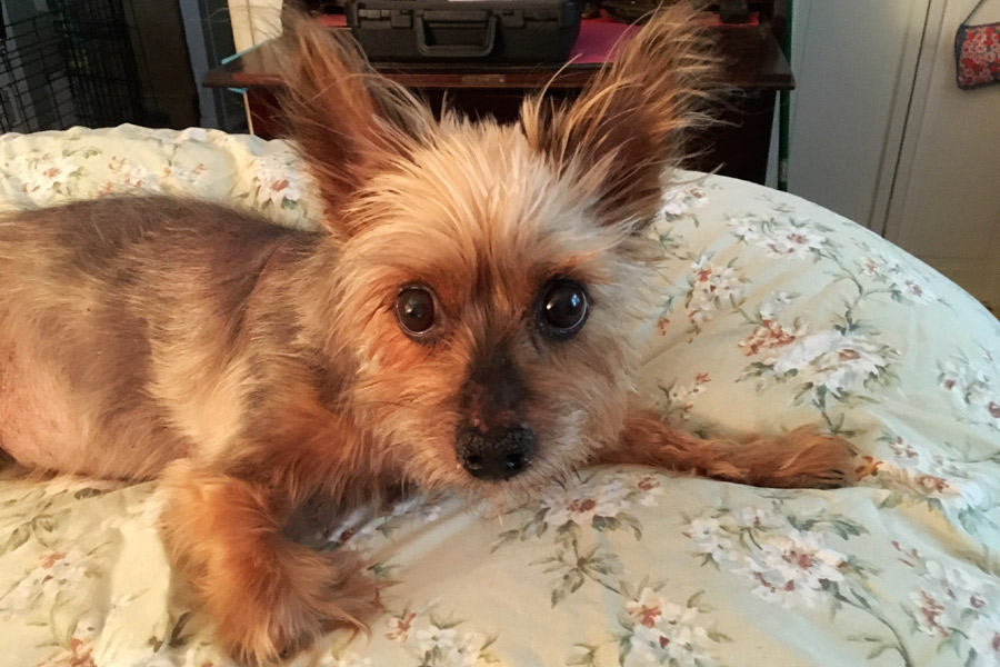 Yorkshire Terrier Billy